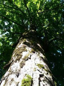 Smoky Mountain Tree